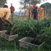 Growing Bamboo to fight global warming